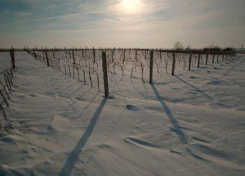 Виногради средњег Баната, током зиме